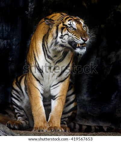 Asian  tiger standing with rock wall in background