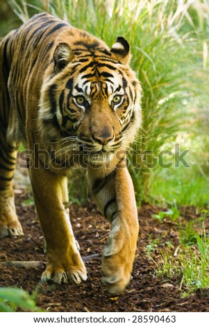 Asian tiger walking around on sunny morning