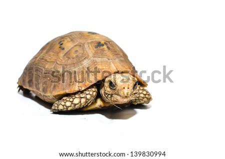 Asian turtle species on a white background. - stock photo