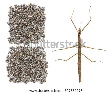 Asian walking stick (Phasmina insect) - imago and batch of eggs isolated on a white background. Macro - stock photo