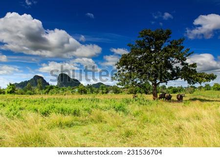 Asian water buffalo on the field , Thailand. - stock photo