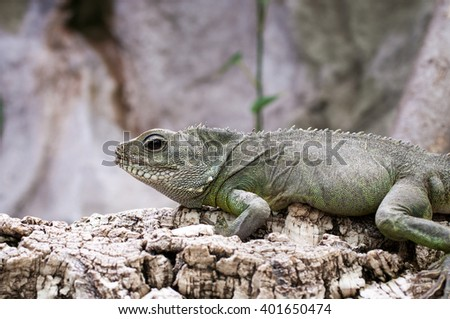 Asian water dragon - green water dragon