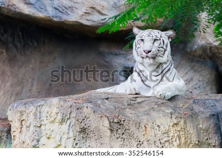 Asian whits tiger or bengal tiger lying on the rock at zoo. - stock photo