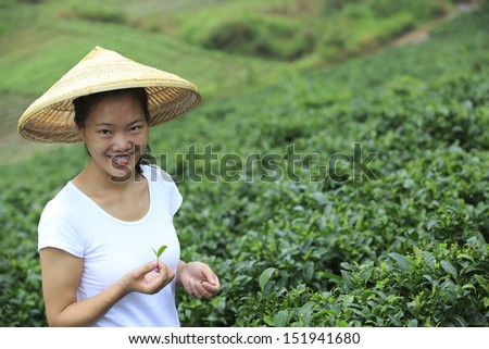 asian woman picking tea leaves at field - stock photo