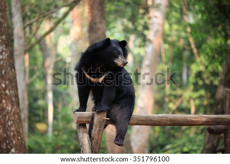 asiatic bears on tree - stock photo