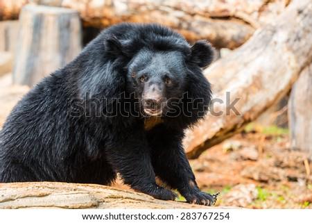 Asiatic black bear, Bear animal. Bear wild, bear face. bear nature, bear forest, bear head. - stock photo