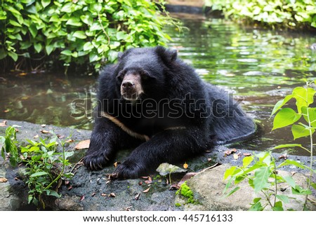 Asiatic black bear in the water