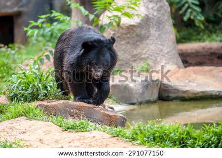 asiatic black bear in zoo