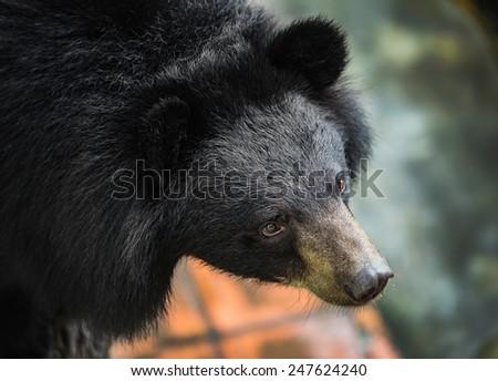 Asiatic black bear, Tibetan black bear, Ursus thibetanus, large tropical asian bear with black fur and white V shape fur on the bust  - stock photo