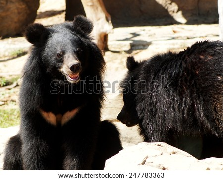 Asiatic black bear, Tibetan black bear, Ursus thibetanus, large tropical asian bear with black fur and white V shape fur on the burst close up shot from a zoo in THAILAND on a sunny day.