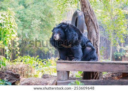 Asiatic black bear (Ursus thibetanus) sit down on the table with nature background - stock photo