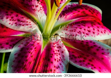 Asiatic lily or Tiger Lily this Pink Lily smells amazing and looks amazing has long hairs on the peddles of the plant large pollen sacks perfect angle - stock photo