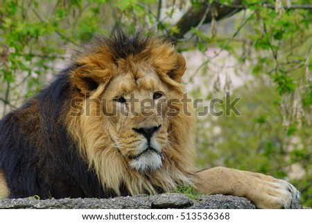 Asiatic lion (Panthera leo persica) - threatened species - its population counts about 400 units in the national park in India