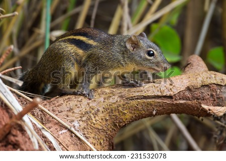Asiatic striped squirrel (Tamiops) in nature in Thailand - stock photo