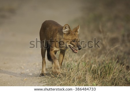 Asiatic wild dog  - also known as - Dhole; Kanha National Park, Madhya Pradesh, India