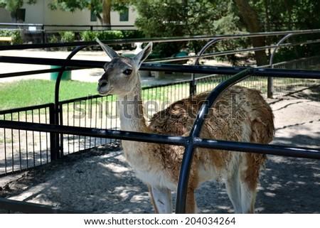 ASKANIA-NOVA, KHERSON REGION, UKRAINE - JULY 1, 2014: animals in the zoo of Ukrainian worldwide famous Askania-Nova reserve, member of the World Network of Biosphere Reserves of UNESCO. Lama. - stock photo