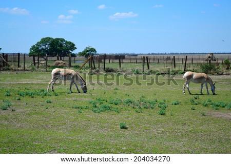 ASKANIA-NOVA, KHERSON REGION, UKRAINE - JULY 1, 2014: animals in the zoo of Ukrainian worldwide famous Askania-Nova reserve, member of the World Network of Biosphere Reserves of UNESCO. Mule. - stock photo