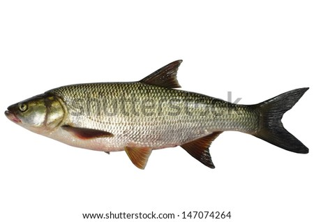asp predatory freshwater fish on white background