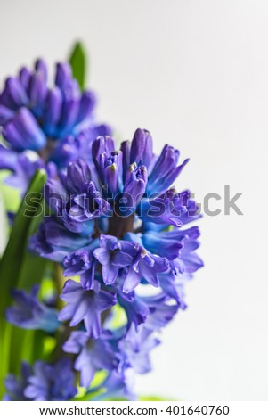 Asparagaceae family blooming hyacinths in vase  Blue flowers with many small blossoms and green leaves shot with selective focus, image for interior concept, spring decoration, creative blog business - stock photo