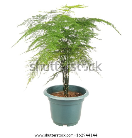 asparagus fern is a perennial evergreen vine foliage plants, ornamental plants. - stock photo