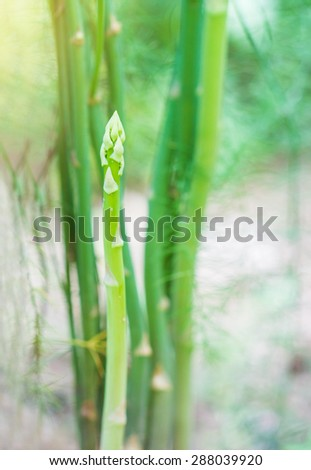 Asparagus growing in the garden. - stock photo