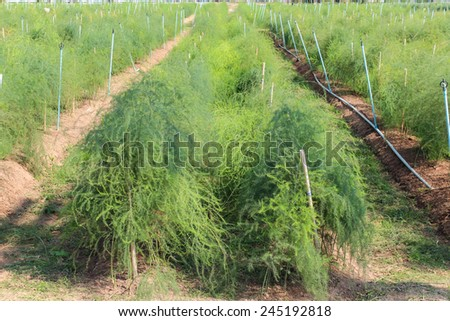 Asparagus or garden asparagus, scientific name Asparagus officinalis, is a spring vegetable, a flowering perennial plant species in the genus Asparagus, agriculture. - stock photo