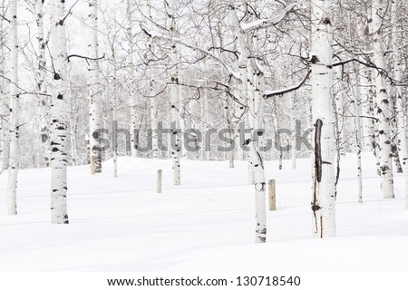Aspen forest covered in fresh snow.
