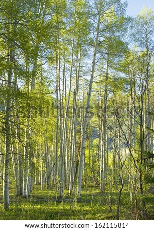 Aspen forest on flat ground in late afternoon sunlight - stock photo