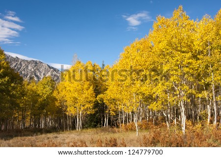 Aspen grove in fall, yellow leaves with mountains and blue sky in the background - stock photo