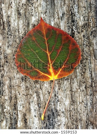 Aspen leaf beginning the Fall color change - stock photo