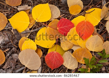 Aspen leaves and snow - stock photo
