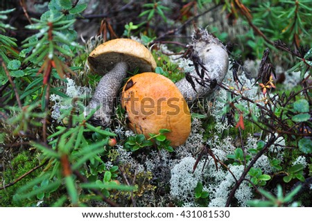 Aspen mushrooms. Mushrooms with red hats on moss and lichen. - stock photo