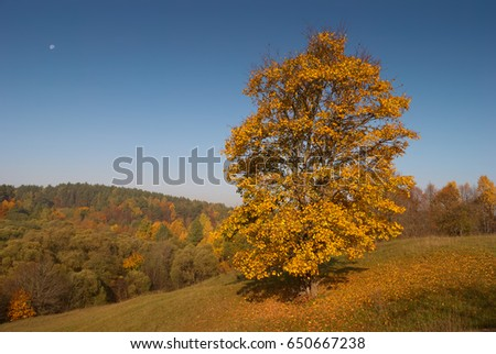 Aspen tree grows on the hill in autumn