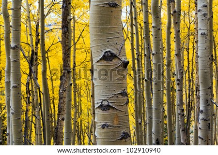 Aspen tree in a colorful Fall forest in Colorado - stock photo