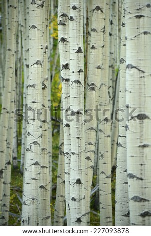 aspen tree in autumn from colorado - stock photo
