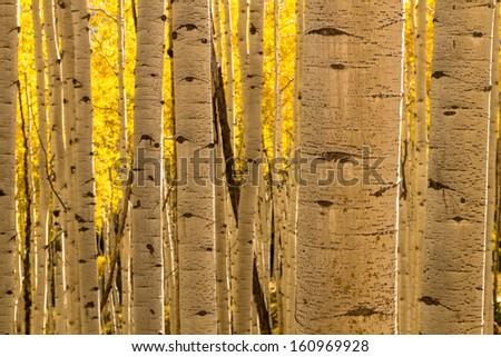 Aspen tree trunks in Aspen forest - stock photo