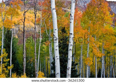Aspen trees - stock photo