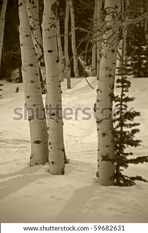Aspen Trees and Snow in the Late Afternoon Sun in Sepia Tone - stock photo