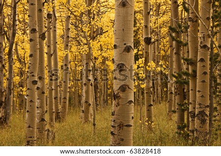 Aspen Trees And Trunks