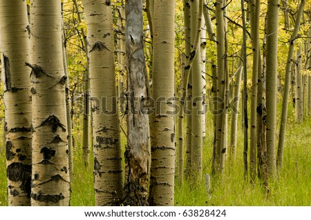 Aspen Trees And Trunks - stock photo