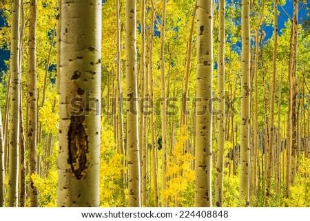 Aspen Trees Forest near Aspen, Colorado, United States. Autumn Foliage. - stock photo