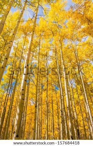 Aspen trees in Autumn, Maroon Bells Wilderness, Aspen Colorado - stock photo