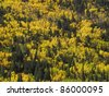 aspen trees in the fall in the colorado mountains - stock photo