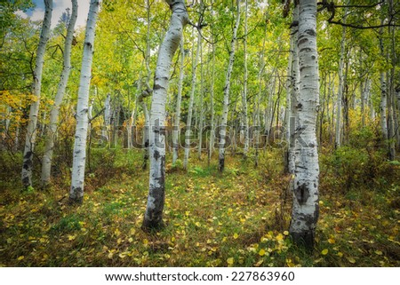 Aspen trees starting to turn into the golden color of autumn with grass of a meadow catching the leafs in the Wasatch national forest in Utah USA./ Autumn Aspen Meadow - stock photo
