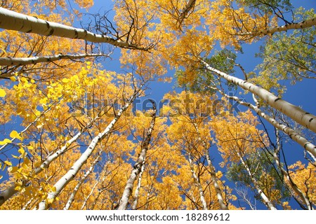 Aspen trees with blue sky background