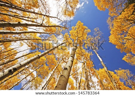 Aspen trees with fall color, San Juan National Forest, Colorado, USA - stock photo