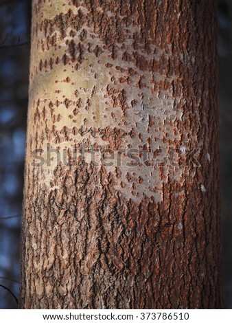 aspen trunk in the forest - stock photo