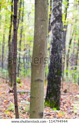 aspen trunks and leaf litter in autumn forest - stock photo