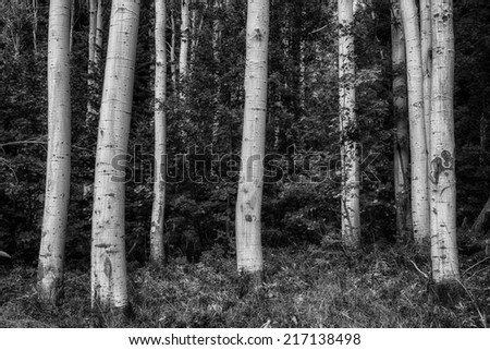 Aspen trunks at ground level with green oak brush starting to turn orange and yellow in the Wasatch mountains in Utah USA./ Close Up Aspens BW - stock photo