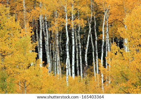 Aspen trunks framed by golden autumn leaves, Utah, USA. - stock photo